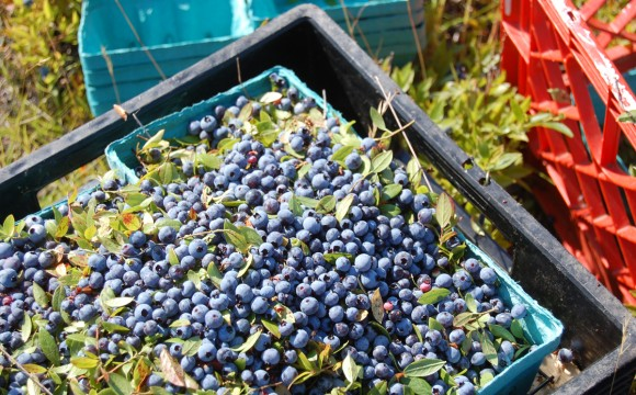 USDA to purchase 3.8 million pounds more blueberries
