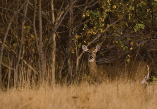 Deer: The pre-baiting issue