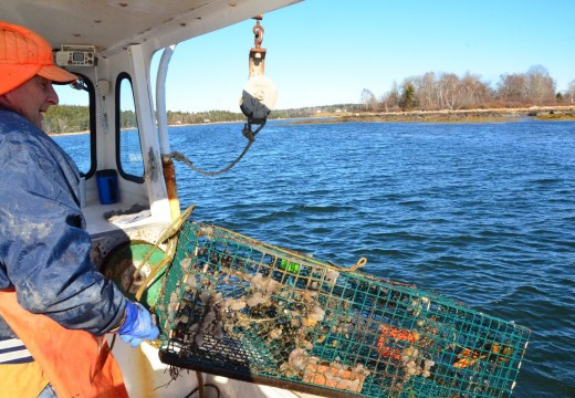 Lobsterman discovers sea squirts on his traps