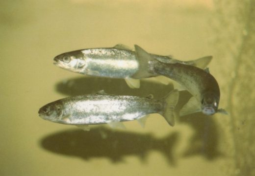 Atlantic salmon still in trouble